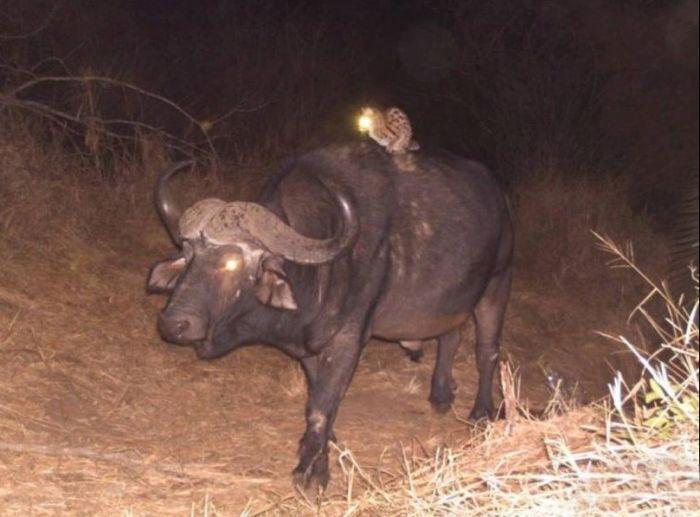 Безопасный способ передвижения по саванне в темное время суток .
